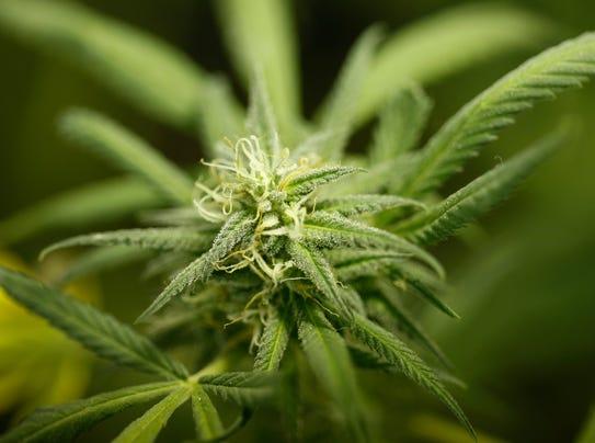 ASTC 0507 SENATE MEDICAL MARIJUANA_cannabis filer.jpg