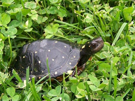Te Spotted Turtle, Michigan's rarest turtle.