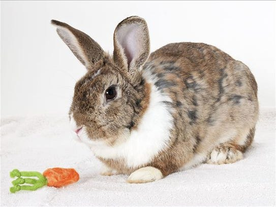 Henry, male Dutch rabbit. No. 97547.