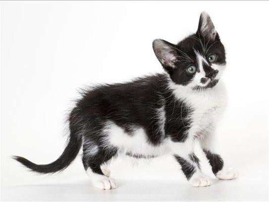 Lenny, 3-month-old male domestic medium hair kitten.