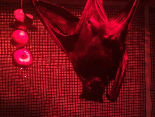 Tom is Malayan Flying Fox, the largest bat species