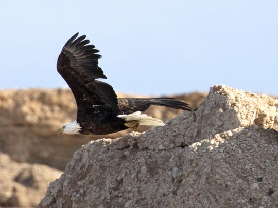 An adult bald eagle flies along the shore of Lake Mead during the annual eagle survey conducted by the National Park Service.