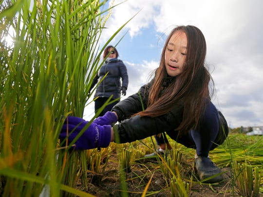 Nine-year-old CyaSha Thao helps pick rice stalks. She was with her mother, May Yer Thao (behind) of Fox Point, who is the executive director of the Hmong Wisconsin Chamber of Commerce.  The first-ever commercial rice harvest in Wisconsin  took place in a 1-acre paddy at Mequon Nature Preserve, 9011 W. Donges Bay Road on Monday. The rice was planted in June with help of local Hmong farmers and a mechanical transplanter. The Rice was harvested Monday morning both by hand with sickles, with help from those same Hmong farmers, and with a mechanical harvester.