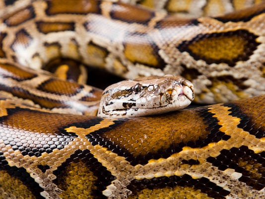 #stock Burmese Python Stock Photo