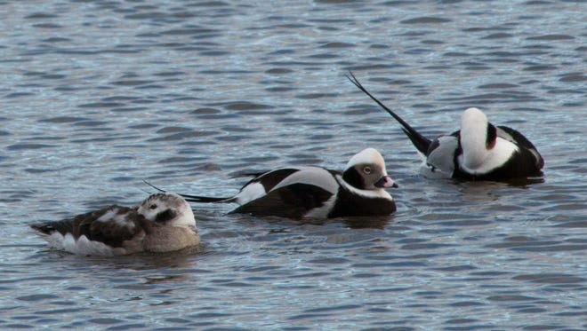 Long-tailed ducks paid a visit to the Two Rivers harbor Friday, Dec. 9.