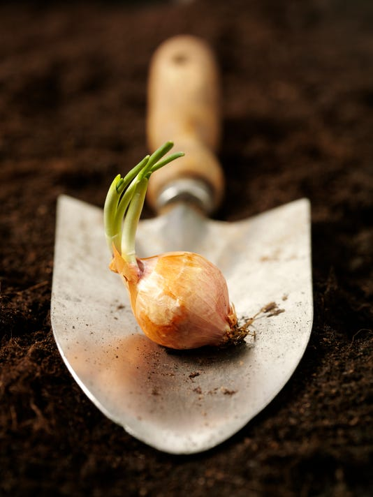 Sprouting Bulb in a Trowel