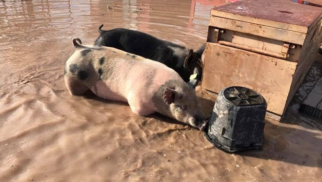 Livestock pens were flooded Sunday, Aug. 13, 2017, in a neighborhood north of Las Cruces after flood waters topped and partially breached a retention pond. Property owner Amber Jensen said one chicken died, and the other animals were OK but had to be relocated.