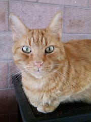 Duncan is a 6-year-old orange tabby cat who is polydactyl.