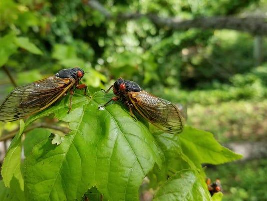 IMG_BMN_060117_Cicadas_c_1_1_5OIC2OM2.jpg_20170601.jpg
