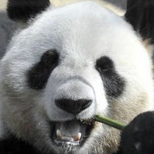 Giant pandas are notoriously reluctant to breed in captivity and pseudo-pregnancies are common