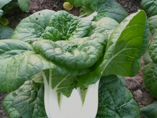Asian Delight F1 pak choi