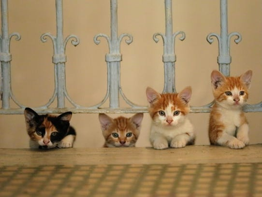 """A quartet of kittens, seen in the new film """"Kedi."""""""