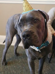 Funds from the Paw-rites of the Caribbean Golf Tournament will support the Gulf Coast Humane Society's second-chance fund which helps animals that need surgeries before getting adopted. Angus the Mastiff mix is living a happy life thanks to the Humane Society's program.