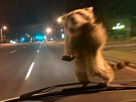 This Wednesday, Sept 20, 2017, image released by the Colorado Springs Police Department shows  a van dash camera showing a raccoon on a windshield.   Officer Chris Frabbiele was responding to an accident scene in a van used by police to investigate crashes when the raccoon landed on it late Wednesday night. Police spokesman Lt. Howard Black says the raccoon hopped off the van after Frabbiele stopped it.
