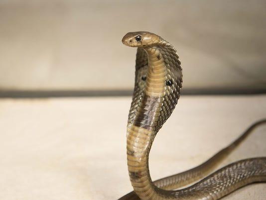 636354558388474712-cobra-in-elizabeth.jpg