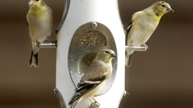 American Goldfinch feed on a bird feeder as winter weather has arrived in the Ozarks.