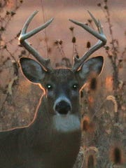 Antler restrictions are popular among most hunters because they can produce more bucks like this one.