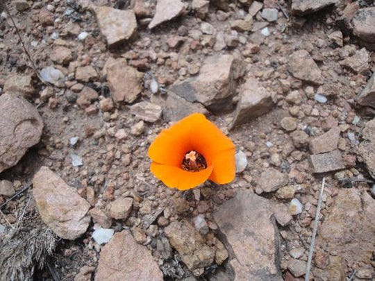 The plant in the photo appears to be Calochortus kennedyi,