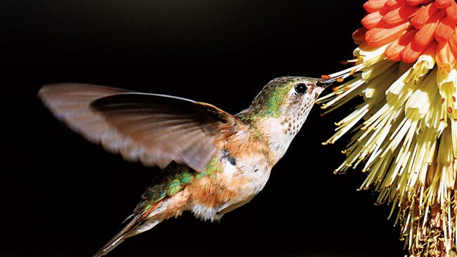 Broad-tailed hummingbirds feasting on Red Hot Pokers at the Circle B RV Park on Highway 70 in Ruidoso Downs.
