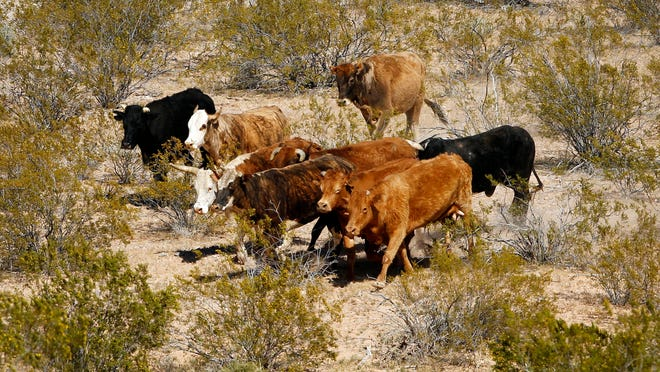 Cattle belonging to Cliven Bundy are rounded up with a helicopter near Bunkerville.