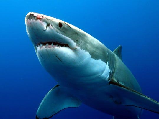 d_Shark_Week_Great_31