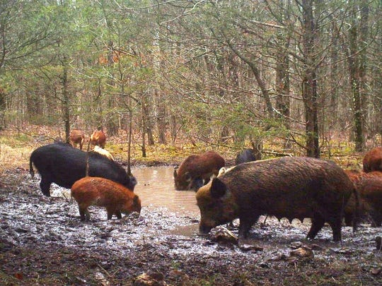 A herd of feral hogs pollute a  spring on private property in Ozark County.