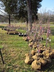 A past tree sale for the American Legion Auxiliary
