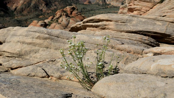 Wildflowers grow on the slickrock at Yant Flat west