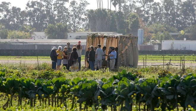 A group of Jewish faithful gather under a sukkah at the edge of a field of crops during a celebration of Sukkot, the Jewish fall harvest festival.