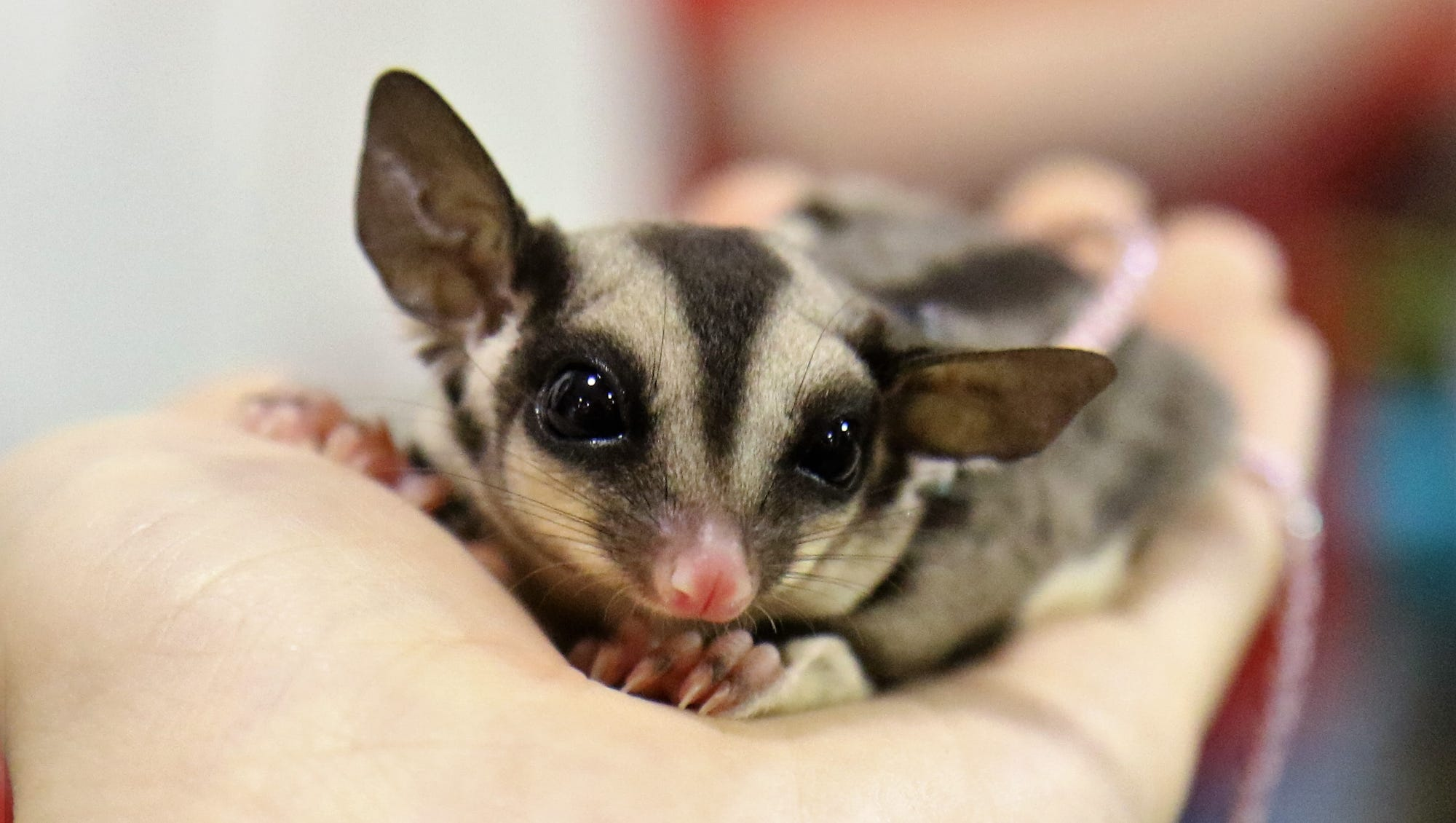 Michigan firefighters save sugar gliders from burning home
