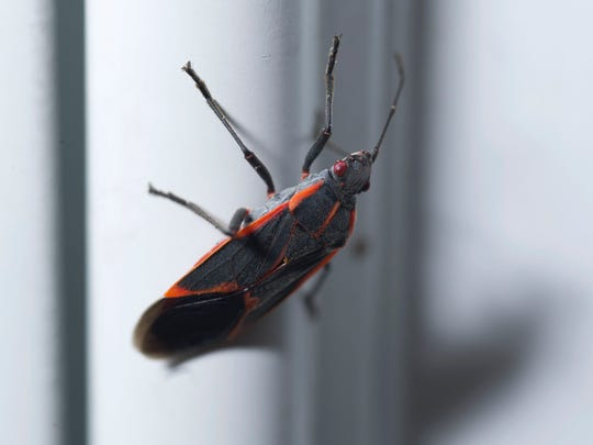 How to get rid of lady bugs, stink bugs, other pests at home