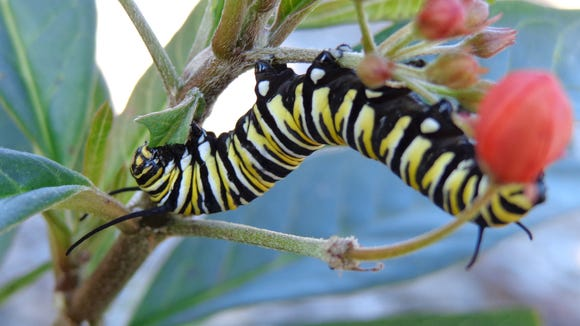 A monarch caterpillar munches on tropical milkweed in a garden at The Landings in Savannah, Ga., in January 2014.