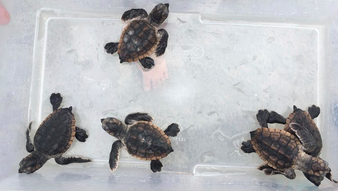 Five of six live loggerhead sea turtle hatchlings found in a hotel room waste basket on Tuesday are examined at the Tybee Island Marine Science Center on Tuesday, July 24, 2018. The hatchling were released back into the ocean on Wednesday. (Mary Landers/Savannah Morning News via AP)