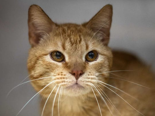Cannoli - Male domestic short hair, adult. Intake date:4-20-2018