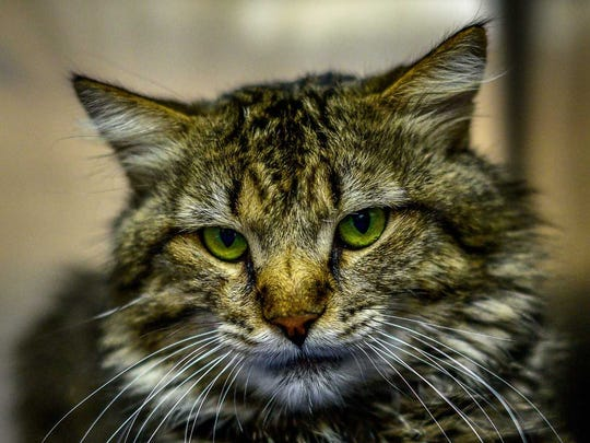 Prince - Male domestic shorthair, about 7 years old. Intake date:4-20-2018