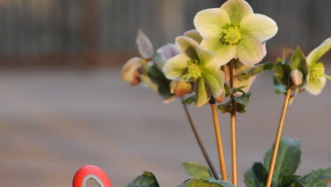 Working in the garden on vegetables or flowers such as this pink Hellebore provides both mental and physical benefits, researchers say.
