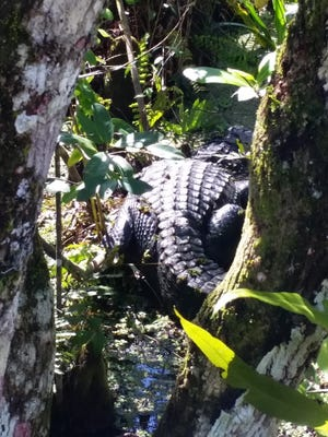 A large female alligator rests in the swamp near the boardwalk.