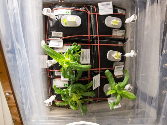 """Zinnia flowers are growing in the International Space Station's Veggie facility as part of the VEG-01 investigation, which is attempting to grow plants in a growth chamber using plant """"pillows"""" that provide nutrients for the root system in orbit."""