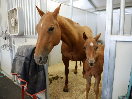 A horse and her foal look out of their stall at Colorado State University's Equine Reproduction Laboratory in Fort Collins on April 18.