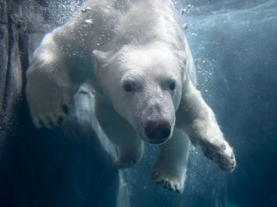 A Polar Bear enjoys a swim at the new McDonnell Polar Bear Point habitat, which opened last summer at the St. Louis Zoo.
