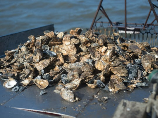 A pile of harvested oysters are seen in this file image.