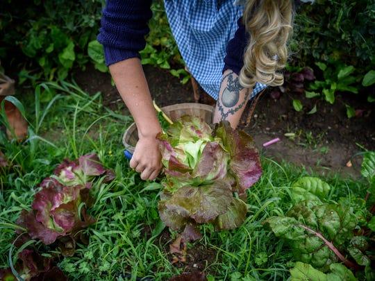 Samantha Lamb harvests her red leaf lettuce from her