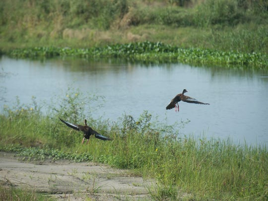Black-bellied whistling ducks (pictured), alligators,