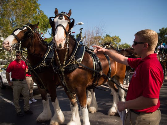 The Budweiser Clydesdales make a full-hitch appearance in Port Salerno on Thursday, Feb. 22, 2018, outside of the Twisted Tuna's Bud & Burger cookout. The iconic Clydesdales can next be seen at the St. Lucie County Fair, which begins Friday.