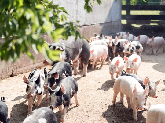 Heritage hogs wander about  on the three-generation Campbell family organic farm in Iowa County.