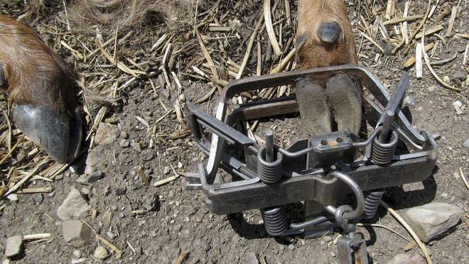 The hooves of an elk calf can be seen caught in a steel trap.