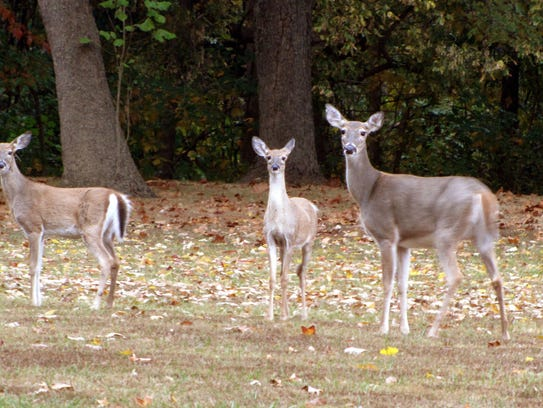 A mother white tail deer and two half-grown fawns pause