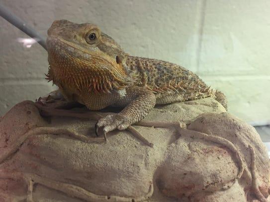 Eric, a bearded dragon reptile. No. 96699.