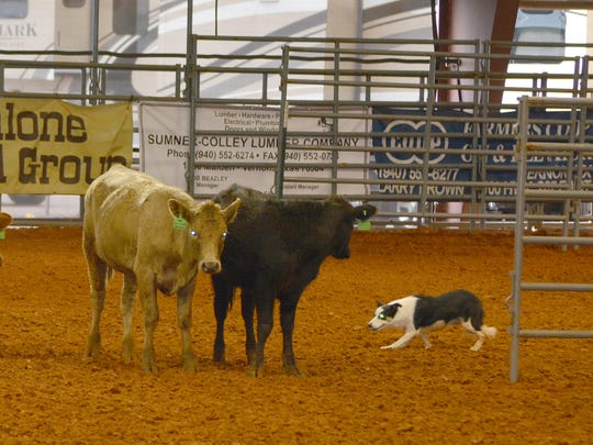 A dog works cattle during the cattle dog competition in Vernon over the weekend