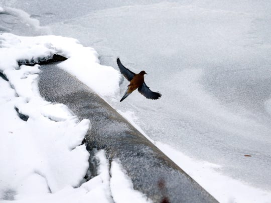 A bird flies near the partially frozen Susquehanna